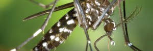 moustique-WEB